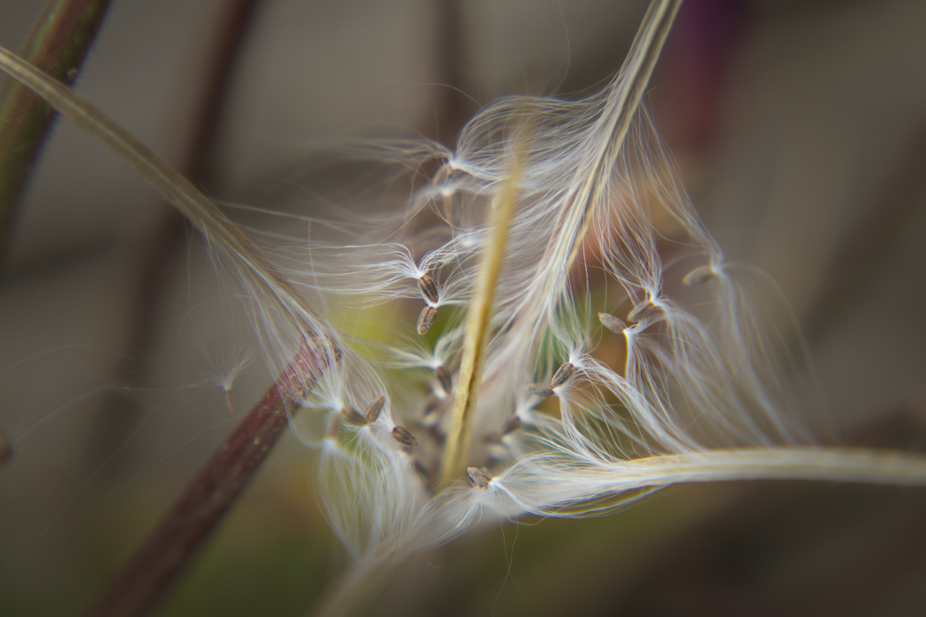 Fireweed Seeds by Veronica Watson