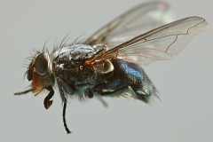 Housefly by Wally Lodge